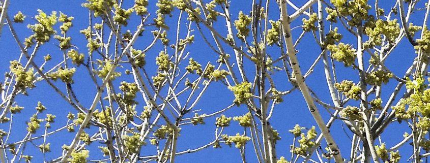 ash-pollen