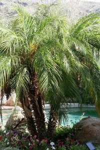 Pigmy Date Palm Ahwatukee