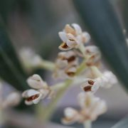 Olive Tree Flower Italy