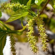 Mulberry Tree Flower