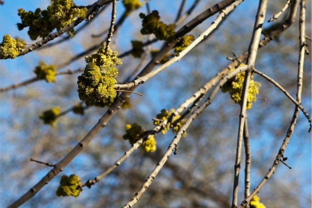 Arizona Ash (Fraxinus velutina) - Ahwatukee Allergist