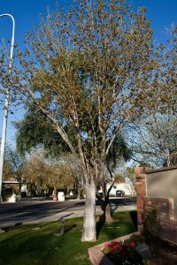 Arizona Ash Tree