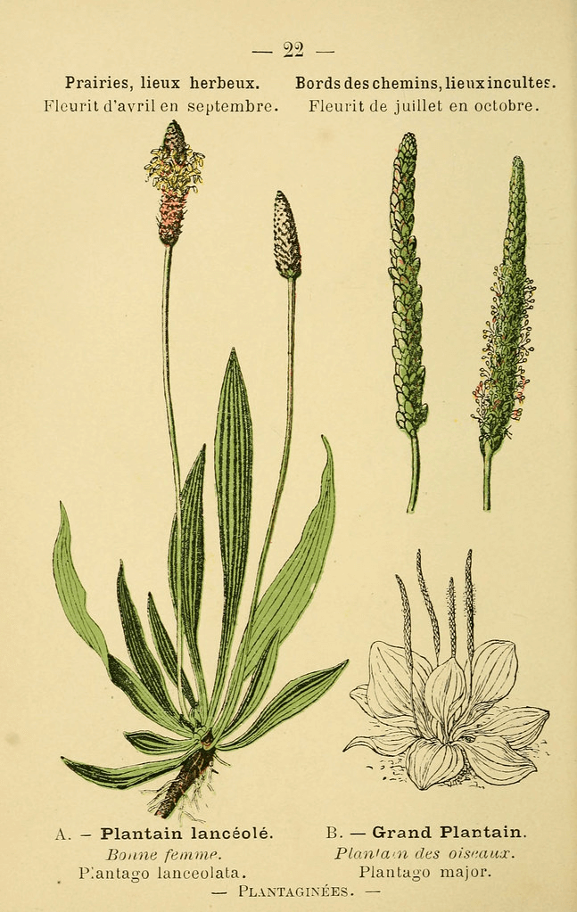 English Plantain Illustration